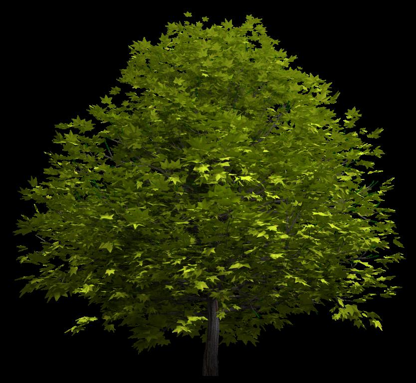 Arbol Acer rojo fondo transparente